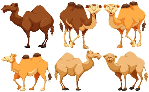 Diversi tipi di cammelli in piedi
