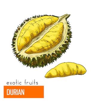 Durian. illustrazione vettoriale di colore.