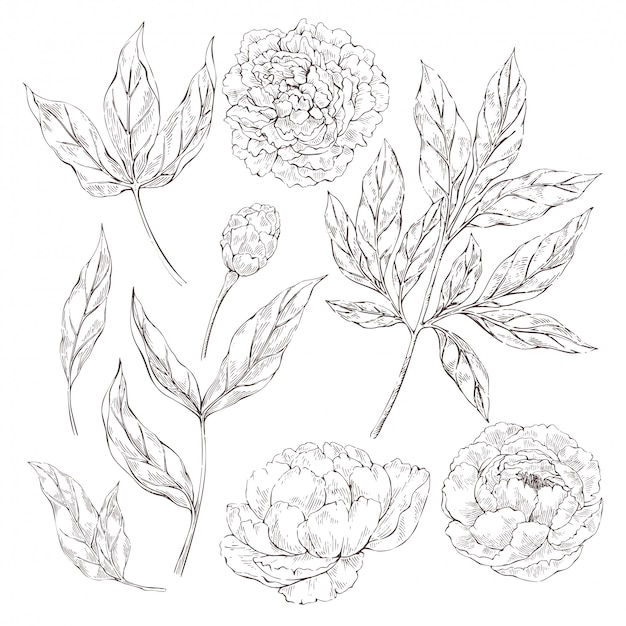 Elementi di fiori di peonia