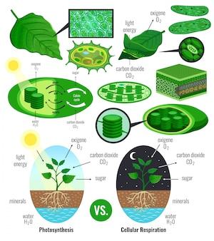 Elementi di infografica di fotosintesi biologica con schema di ciclo calvin conversione energia luminosa piante respirazione cellulare colorato