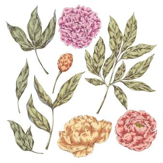 Elementi vintage di fiori di peonia
