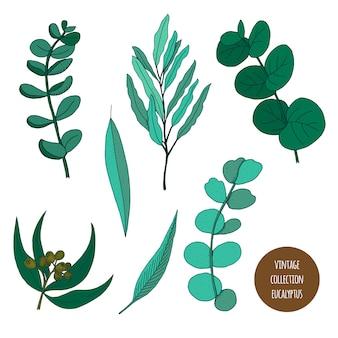 Eucalipto. insieme disegnato a mano di vettore delle piante cosmetiche isolato