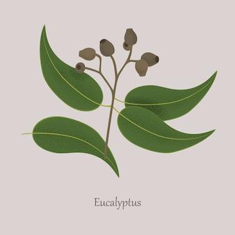 Eucalyptus della pianta medicinale, semi, foglie su un ramo.