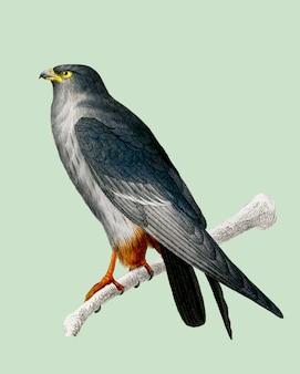 Falco dai piedi rossi (falco rufipes) illustrato da charles dessalines d'orbigny (1806-1876).