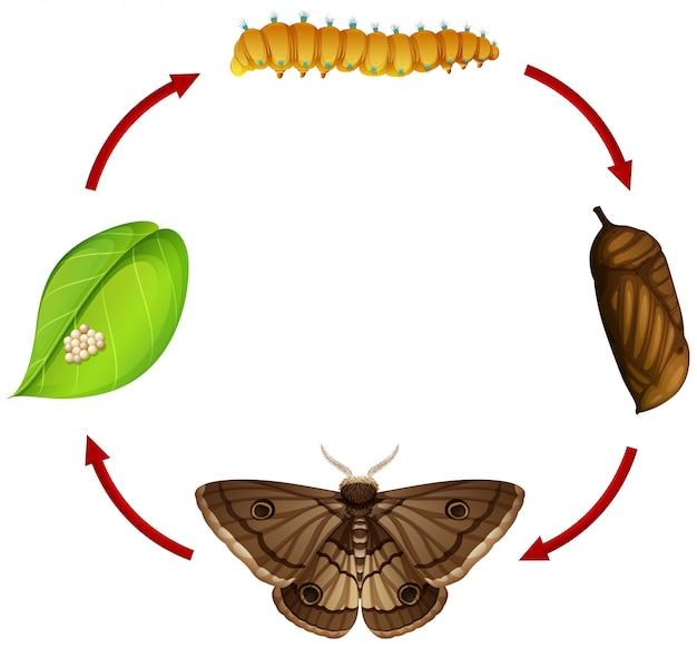 Falena concetto di ciclo di vita