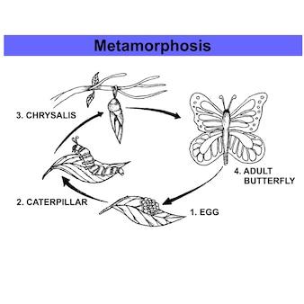 Farfalla metamorfosi