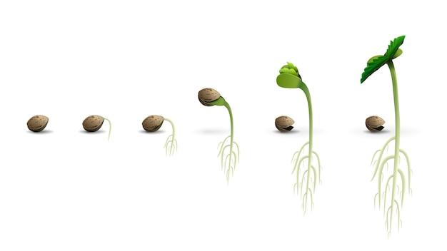 Fasi della germinazione dei semi di cannabis dal seme al germoglio, illustrazione realistica isolata