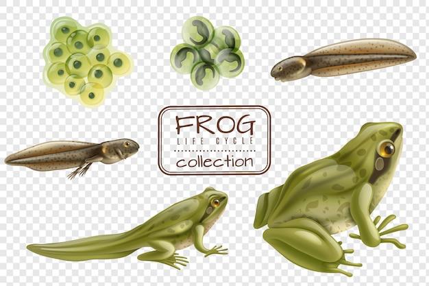 Fasi realistiche del ciclo di vita della rana con rana trasparente di girino di uova di animali adulti fecondate