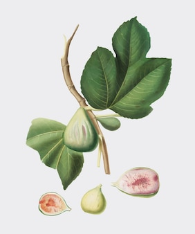 Fico dall'illustrazione di pomona italiana