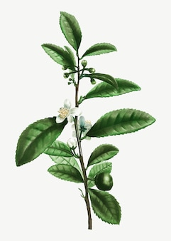 Filiale della pianta del tè