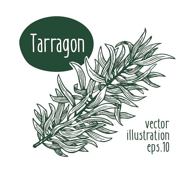 Filiale di dragoncello illustrazione disegnata a mano di vettore