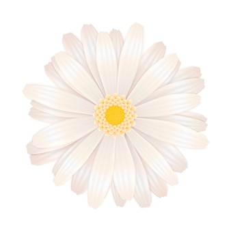 Fiore bianco luminoso della gerbera su bianco