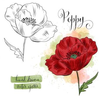 Fiore del papavero dell'acquerello di arte botanica