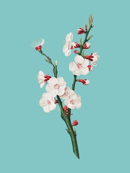 Fiore dell'albicocca dall'illustrazione di pomona italiana