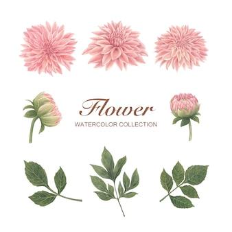 Fiore della fioritura dell'acquerello del crisantemo su bianco per uso decorativo.