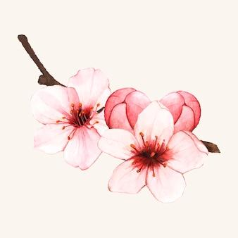 Fiore di fiore di ciliegio disegnato a mano isolato