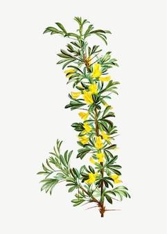 Fiore di fioritura robinia caragana