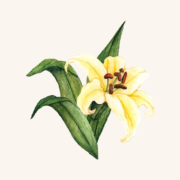 Fiore di giglio bianco disegnato a mano isolato
