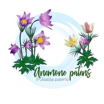 Fiore di primavera - un anemone patens per mazzi di fiori, carte di nozze, striscioni e manifesti