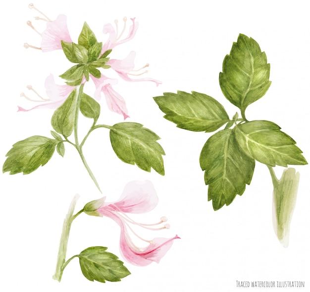 Fiore e foglie del ramo di fioritura del basilico verde