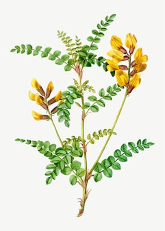Fiore giallo di cytisus wolgaricus
