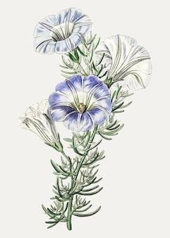 Fiore nolana