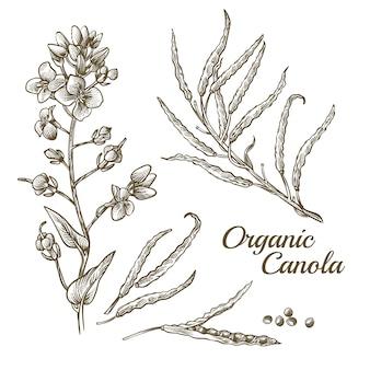 Fiore organico di canola con l'illustrazione del ramo