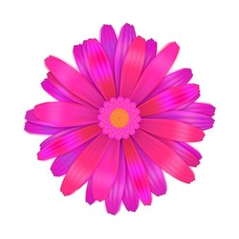Fiore viola luminoso della gerbera su bianco
