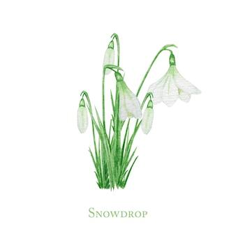 Fiori bianchi di pasqua della molla di bucaneve con le foglie verdi fresche. deliziosi bucaneve primo bouquet di fiori con i simboli della primavera. illustrazione dipinta a mano dell'acquerello isolata.