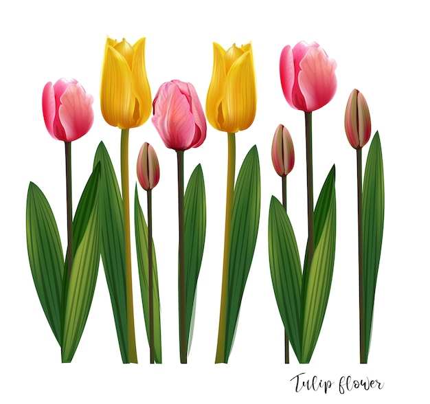 Fiori di tulipano su sfondo bianco, colore giallo e rosa