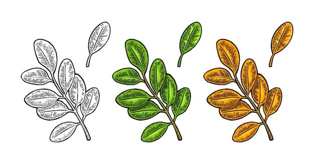 Foglia di acacia verde primavera e arancio autunnale. inciso