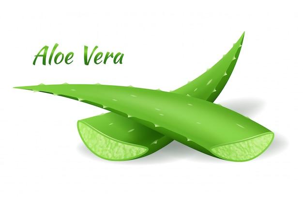 Foglie di aloe vera, pianta verde realistica, due foglie di aloe o pezzi tagliati su bianco