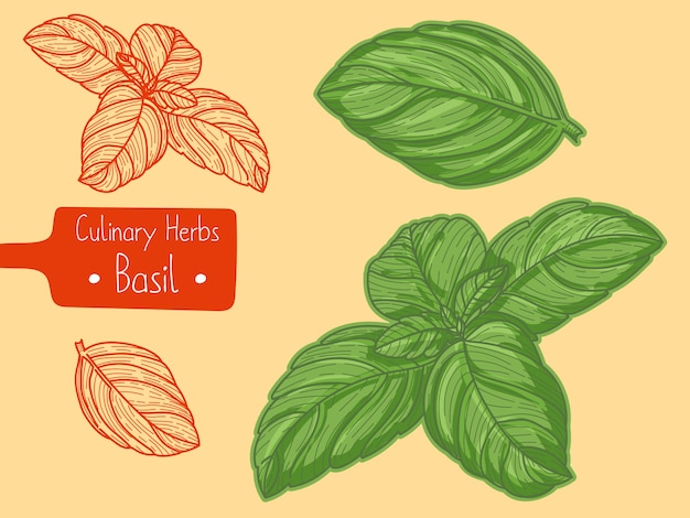 Foglie di erbe aromatiche basilico