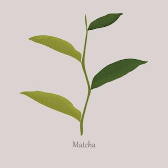 Foglie fresche verdi di una pianta della partita su gray