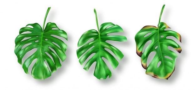 Foglie verdi tropicali di monstera su bianco