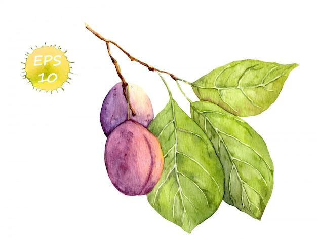 Frutta della prugna su bianco