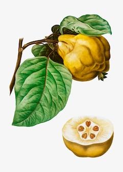 Frutta mela cotogna