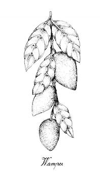 Frutti disegnati a mano di wampee o clausena lansium