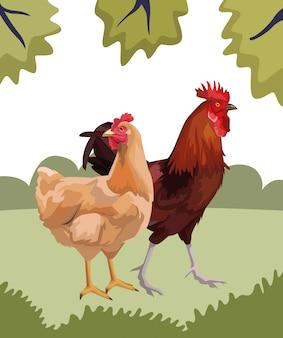 Gallina e gallo
