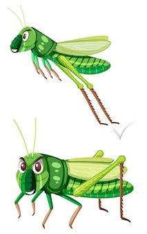 Gasshopper verde su sfondo bianco