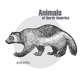 Ghiottone. serie di animali del nord america.