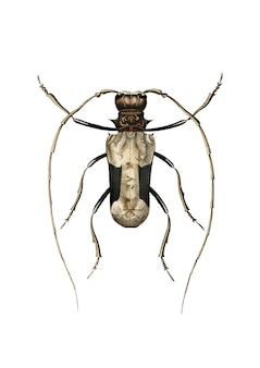 Gigante scarabeo longhorn africano (petrognatha gigas) illustrato da charles dessalines d'orbigny