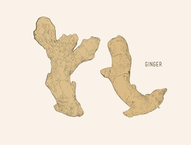 Ginger set vettoriale di schizzo.