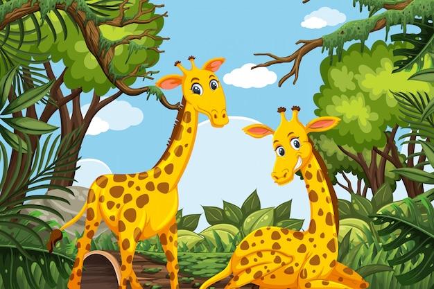 Giraffe sveglie nella scena della giungla