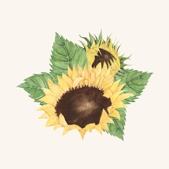 Girasole disegnato a mano isolato su sfondo beige