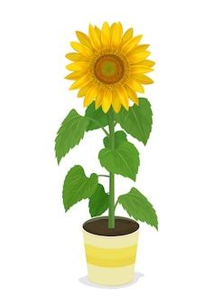 Girasole in piante in vaso.