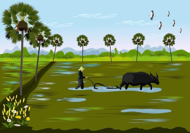 Gli agricoltori stanno scavando il terreno usando il bufalo nelle risaie