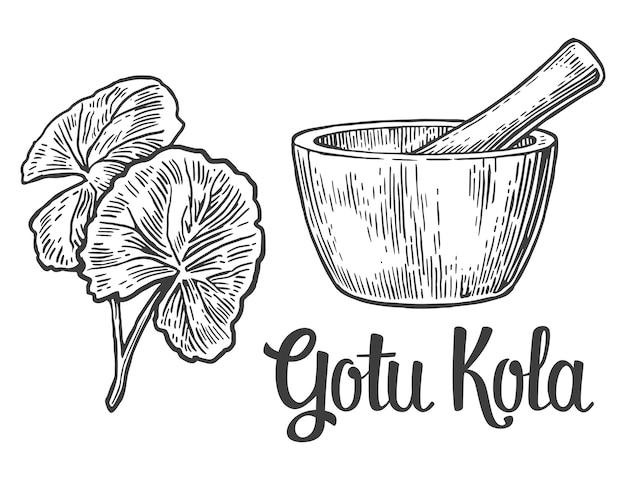 Gotu kola - pianta medicinale. illustrazione incisa d'epoca