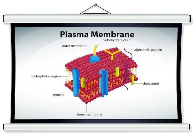 Grafico che mostra la membrana plasmatica
