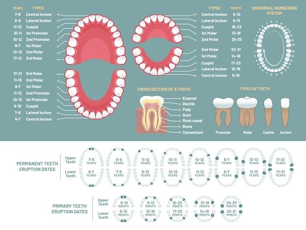 Grafico di anatomia del dente